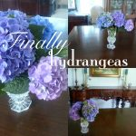 Finally Hydrangeas