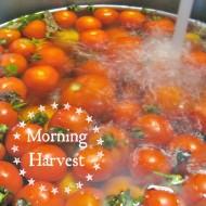 Morning Tomato Harvest
