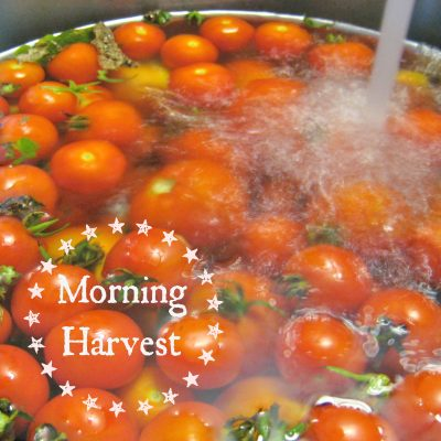 Morning Tomato Harvest