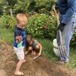 Backyard Garden Potato Harvest Day