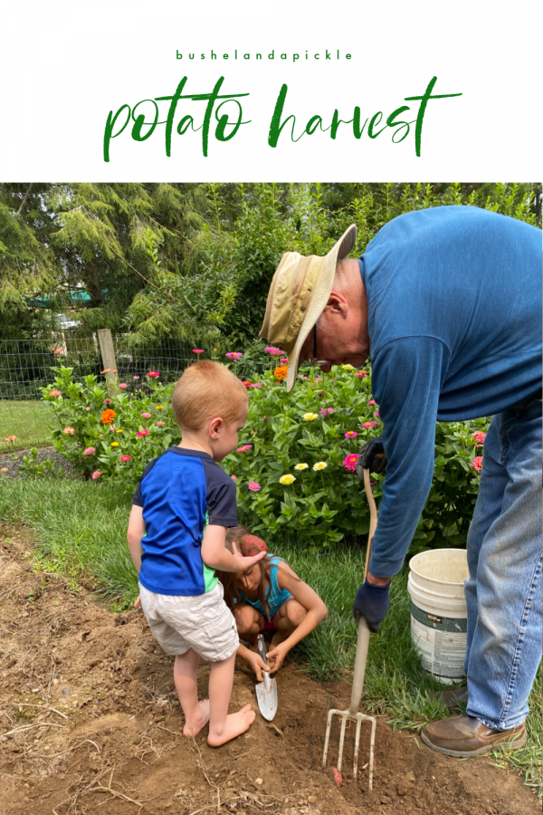grandson helping Grandpa harvest potato in backyard garden