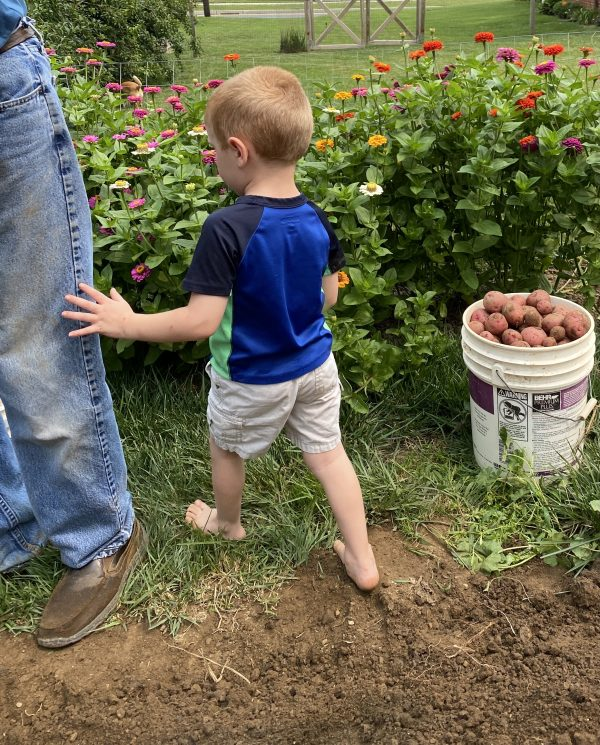 Grandpa and helper harvest red potatoes in backyard garden