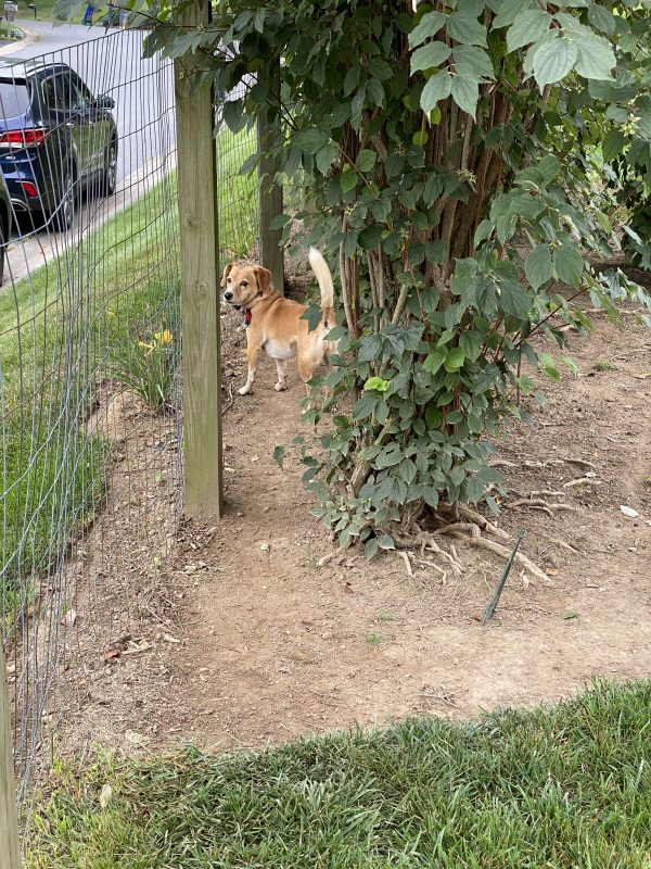 Peach on her run down the side of the yard that is bare dirt under the bushes