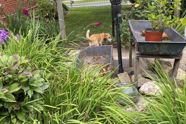 Peach in side flower garden