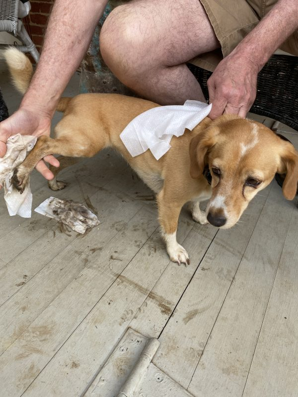 Peach standing still with muddy back paws being wiped with Grove grooming wipes on a porch with muddy streaks